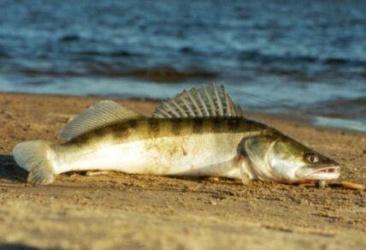 Ловля судака осенью в сентябре, октябре и ноябре на спиннинг